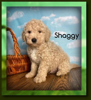 Shaggy Male FB1 Mini Goldendoodle $975
