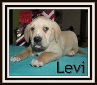 Levi Male Labrador Mountain Cur Mix $599