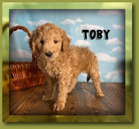 Toby Male FB1 Mini Goldendoodle $975