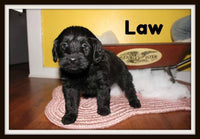 Law Male Mini Labradoodle $800