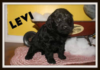 Levi Male Mini Labradoodle $800