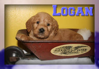 Logan Male Mini Labradoodle $900