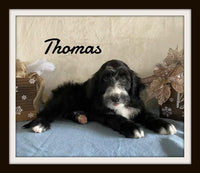 Thomas Male Sheepadoodle $749