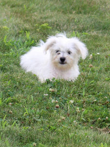male shihchon for sale near me