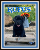 Rufus Male AKC Labrador Retriever $900
