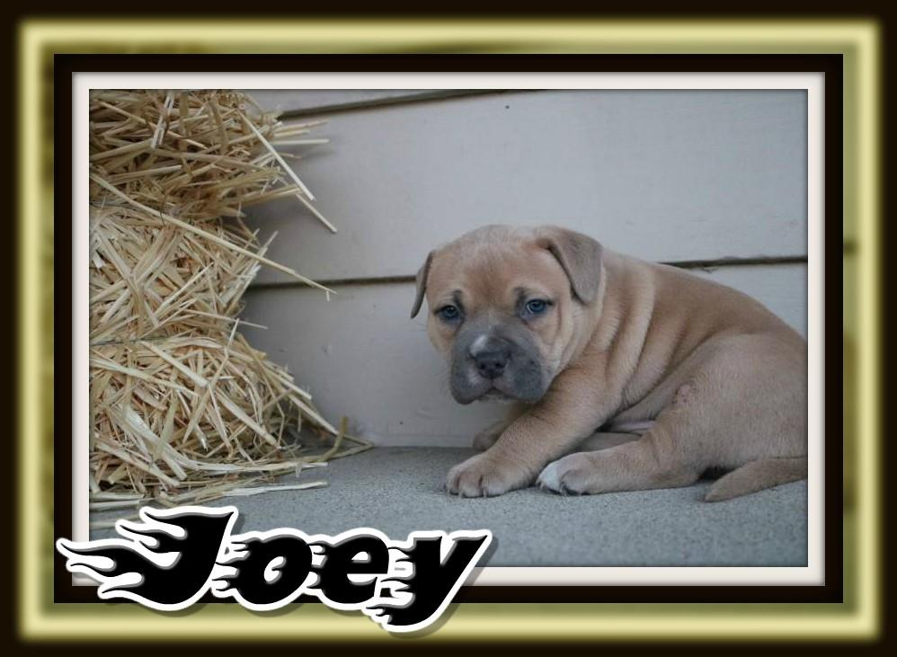 american bully puppy for sale near me