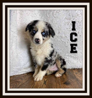 Ice Male Australian Shepherd $750