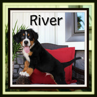 River Male Bernese Mountain Dog $2600