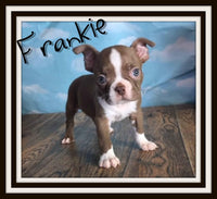 Frankie Male Boston Terrier $2000