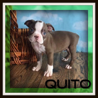 Quito Male Boston Terrier $2000