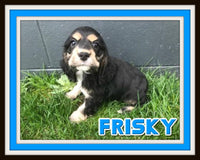 Frisky Male ACA Cocker Spaniel $875