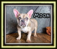 Moon Male AKC French Bulldog $3900