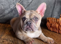 Akc French Bulldog In Ohio for sale