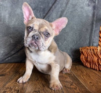 male french bulldog puppies for sale near me