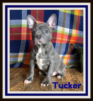 Tucker Male Frenchton $1800