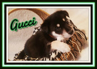 Gucci Male German Pomsky $1000