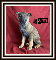 Sam Male German Shepherd $700