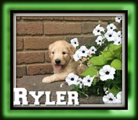 Ryler Male Goldendoodle $1950