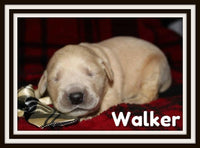 Walker Male AKC Golden Retriever $1650