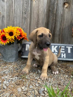 great dane puppies for sale near me