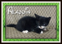 Aladdin Male Short Hair Kitten $225