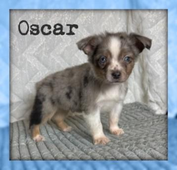 Oscar Male Mini Australian Shepherd Mix $1600