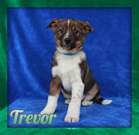 Trevor Male Mini Australian Shepherd Mix $1600