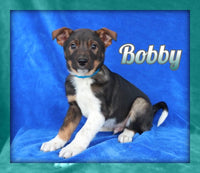 Bobby Male Mini Australian Shepherd Mix $1600