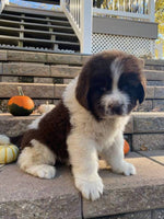 Samson Male Newfoundland Mix $2500