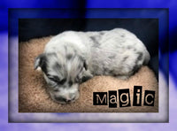Magic Male Newfoundland Mix $2500