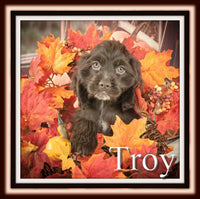 Troy Male ACA Cocker Spaniel $1800