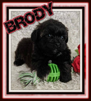 Brody Male Shihpoo $1700