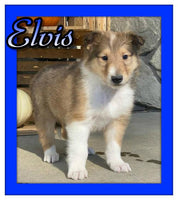 Elvis AKC Male Collie $1100