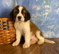 saint bernard for sale in ohio