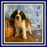 Parker Male Saint Bernard $1500