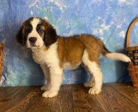 saint bernard puppies for sale near me