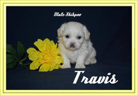 Travis Male Shihpoo $925