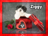 Ziggy Male Shihtzu $1800
