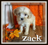 Zack Male Mini Schnoodle $1400