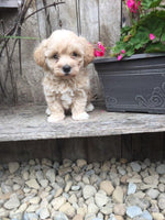 MaltiPoo Puppies for sale in Ohio