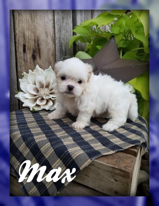 Max: Male Teddy Bear Shih-Chon (Full Price $599.00) Deposit