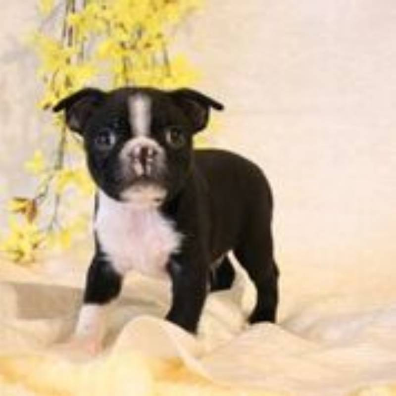 Max Female Boston Terrier AKC (Full Price $1200.00) Deposit