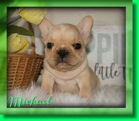 Michael AKC Male French Bulldog $2200