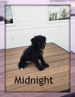 Midnight: Male Mini Labradoodle (Full Price $1095.00) Deposit