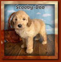 Scooby-Doo Male FB1 Mini Goldendoodle $950