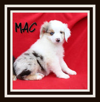 Mac Male Miniature Australian Shepherd $1300