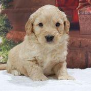 Granger Male Mini Goldendoodle $3000