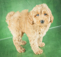mini poodle mix puppies for sale near me