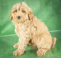 golden retriever puppies for sale near me