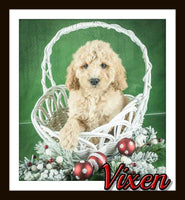Vixen Female F1B Mini Goldendoodle $2500